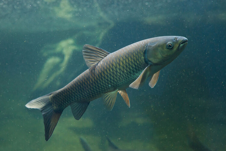 Do Grass Carp Eat Algae