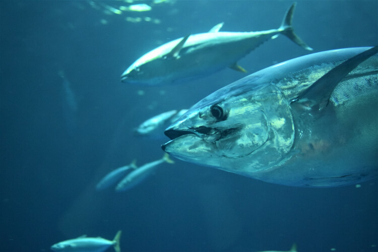 Fish That is High in Omega 3 Fatty Acids - Tuna
