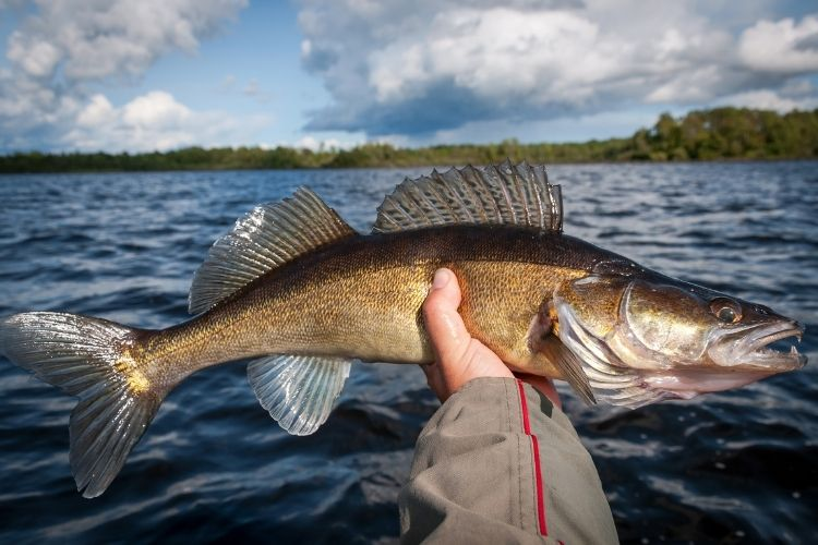 How to Catch Walleye From Shore - Best Way