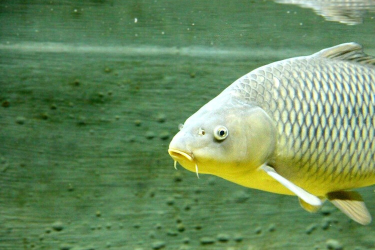 When do Carp Spawn - Underwater